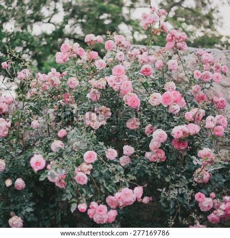 Beautiful wild roses in a sunny garden. Romantic mood - stock photo