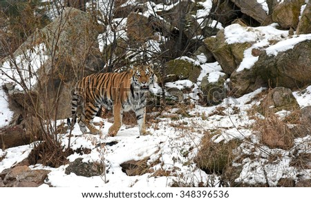 Beautiful wild Siberian Tiber in the snow in the mountains, also known as the Amur Tiger. - stock photo