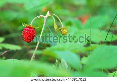 Beautiful wild strawberry berries growing in natural environment. Macro close-up.