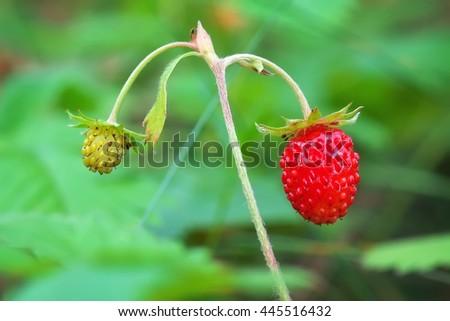 Beautiful wild strawberry berries. Macro close-up.  - stock photo