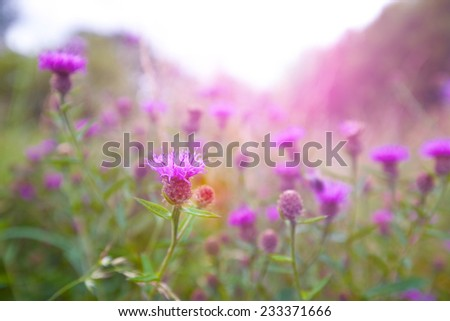 Beautiful wild thistle in the morning sunlight  - stock photo