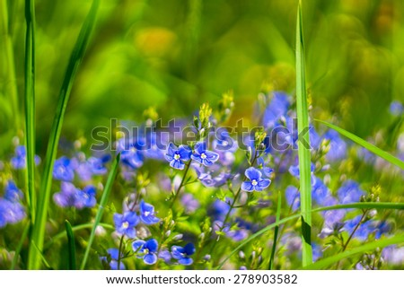 Beautiful wild violets photographed in forest in may. Close up of wildflowers - stock photo