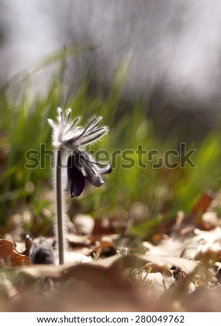 Beautiful wind-flower in Spring - stock photo