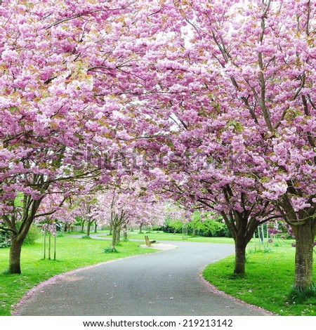 Beautiful Winding Cherry Blossom Lane - stock photo