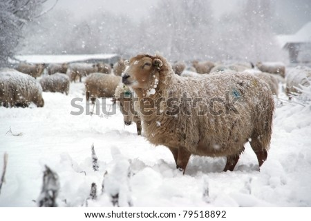 Beautiful winter landscape with fresh snow and a lot of sheep. - stock photo