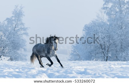 Beautiful winter landscape with snow covered trees. Galloping grey purebred Spanish horse.