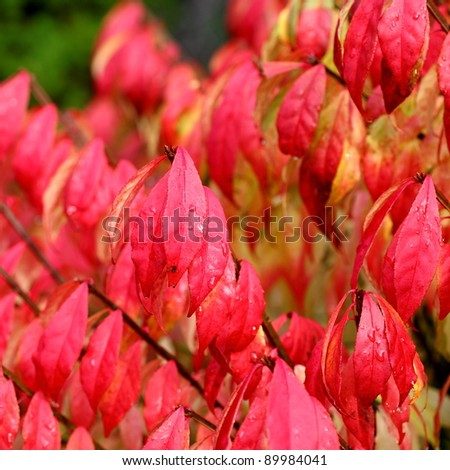 Beautiful winter leaves on a burning bush (Euonymus alatus) - stock photo