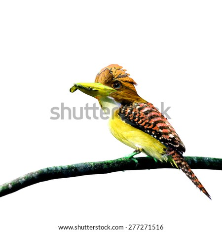 Beautiful yellow and orange bird perching on branch isolated on white background - stock photo