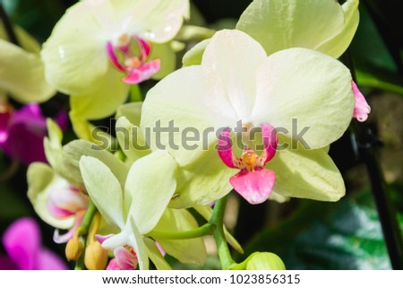 Beautiful yellow pink orchid flower green stock photo 1023856315 beautiful yellow and pink orchid flower with green floral background amazing yellow orchids with space mightylinksfo