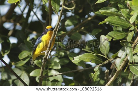 Beautiful yellow and purple bird sitting on a brach. It's a Violaceous Euphonia. - stock photo