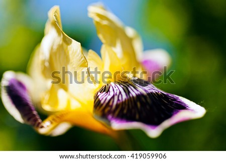 Beautiful yellow and violet iris