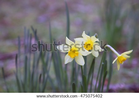Beautiful yellow and white daffodils in a field
