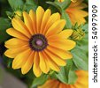 Beautiful yellow annual flower with brown center, Rudbeckia Tiger Eye - stock photo