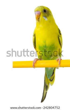 beautiful yellow budgie sitting on a yellow horizontal bar isolated on white background - stock photo