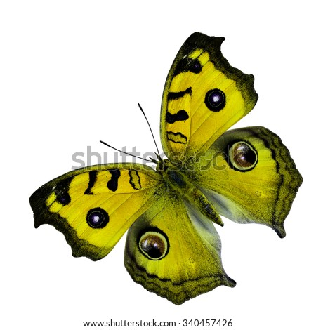 Beautiful yellow butterfly fully wingspan with oval spots isolated on white background, Peacock pansy butterfly in fancy color profile (junonia almana, javana) - stock photo