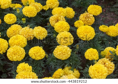 Beautiful yellow chrysanthemums on a bed on a summer day closeup - stock photo