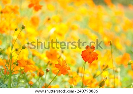 beautiful yellow cosmos flower in the filed - stock photo