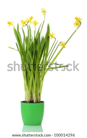 beautiful yellow daffodils in a flowerpot isolated on white