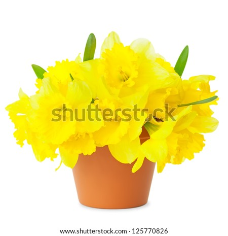 Beautiful Yellow Daffodils in flowerpot isolated on white / Spring Narcissus flowers