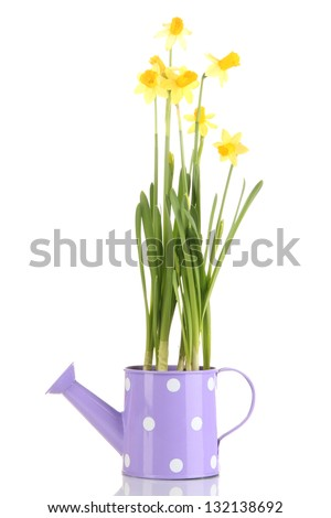 Beautiful yellow daffodils in watering can isolated on white - stock photo