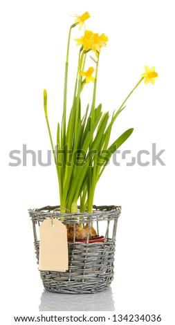 Beautiful yellow daffodils in wicker basket isolated on white - stock photo