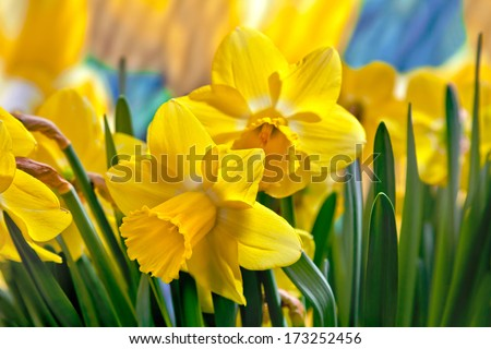 Beautiful yellow daffodils. Narcissus. - stock photo