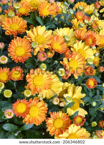 Beautiful yellow daisy flowers  - stock photo