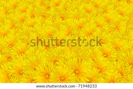 Beautiful Yellow Dandelion Flowers Background - Bunch of Taraxacum officinale Flowers - stock photo