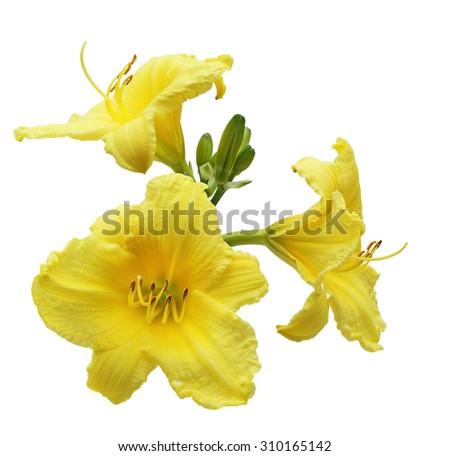 Beautiful yellow daylily flower isolated on white background - stock photo