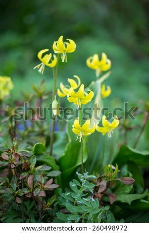 Beautiful yellow fawn lily - erythronium in a park. Springtime. Shallow DOF - stock photo