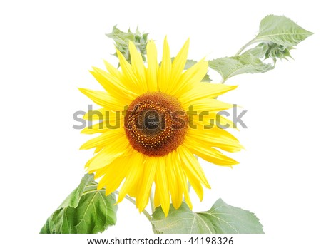 Beautiful yellow flower, colorful sunflower