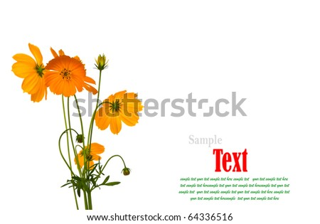 Beautiful yellow flower (Cosmos) isolated on white background. - stock photo