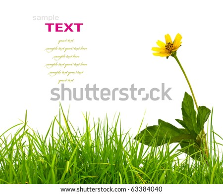 Beautiful yellow flower (Daisy) and fresh spring green grass isolated on white background. - stock photo