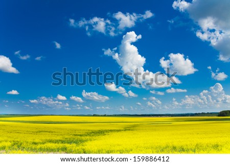 Beautiful yellow flower fields and whit cloud on sunny spring day - stock photo