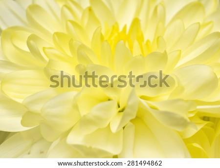 Beautiful yellow flower macro - stock photo
