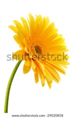 beautiful yellow flower petals closeup - stock photo