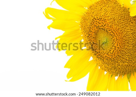 Beautiful yellow flower, Sunflower, isolated on white background