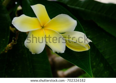 Beautiful yellow flowers With green leaf bush.Beautiful white and yellow flowers in a bouquet of green leaves.White and yellow flowers with green background.