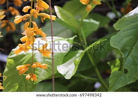 Beautiful yellow flowers leaves vine verbenaceae stock photo 100 beautiful yellow flowers with leaves vine verbenaceae mightylinksfo