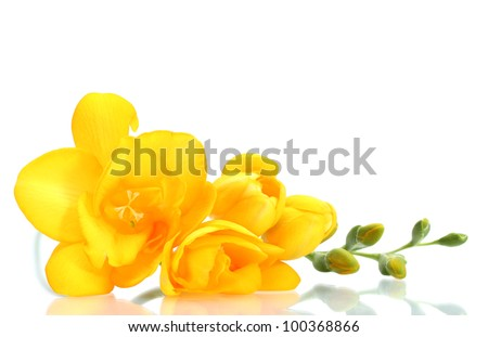 Beautiful yellow freesia isolated on white - stock photo