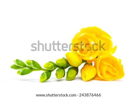 Beautiful yellow freesia isolated on white - stock photo