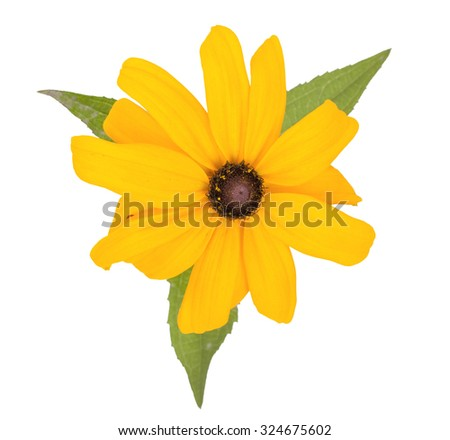 Beautiful yellow garden flower, isolated on white background. Close-up, top view. - stock photo