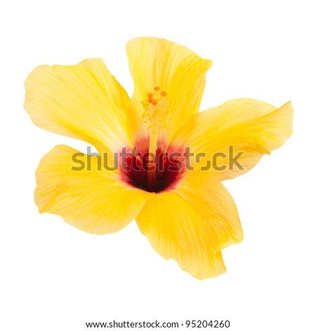 beautiful yellow hibiscus isolated on white background - stock photo