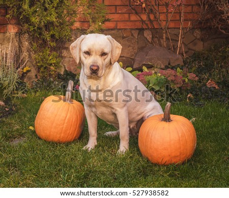 Beautiful yellow labrador sitting on the green grass outdoor with two pumpkins. Halloween or Thanksgiving holiday.