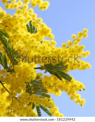 beautiful yellow mimosa in bloom and the sky - stock photo