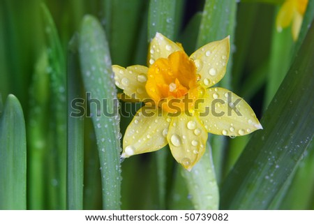 Beautiful yellow narcissus flower on green background - stock photo