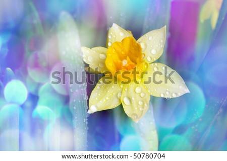 Beautiful yellow narcissus flower on rainbow background - stock photo