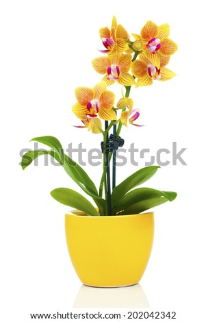 beautiful yellow orchid in pot, isolated on white - stock photo