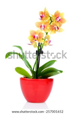 beautiful yellow orchid in pot isolated on white - stock photo