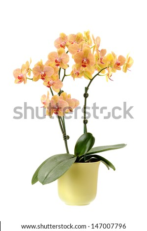 beautiful yellow orchid in vase isolated on white - stock photo